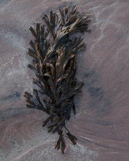 Seaweed, Achnahaird