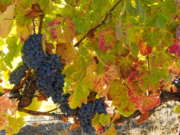 Grapes for harvesting