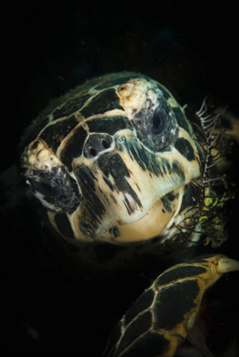 Hawksbill turtle with crinoid