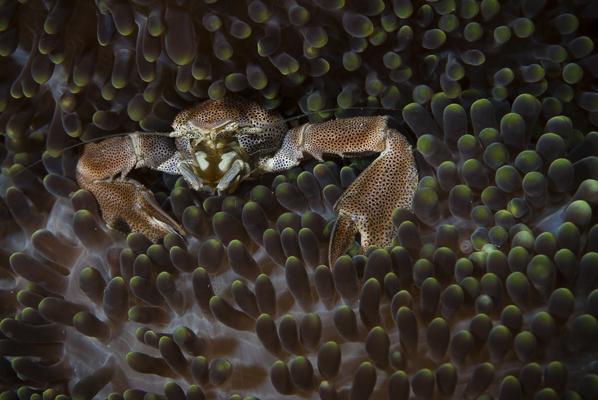 Porcelain crab on anenome