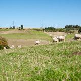 Sheep convoy