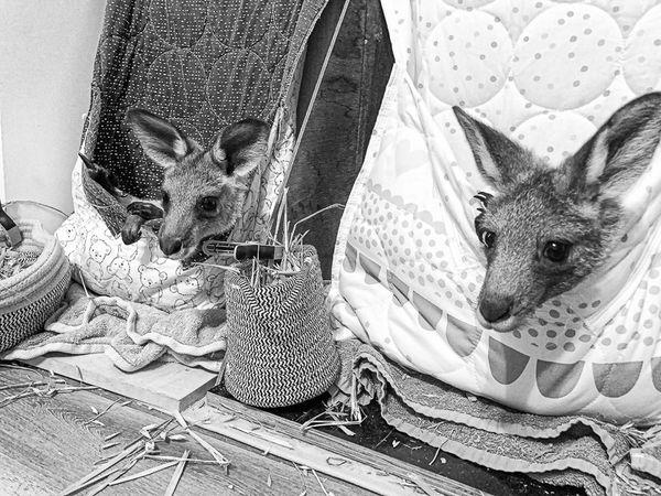 Kangaroo refuge in Melbounre