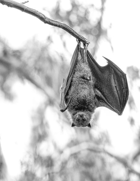 Male fruit bat, Australia