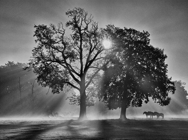 Oak Trees in Morning Mist