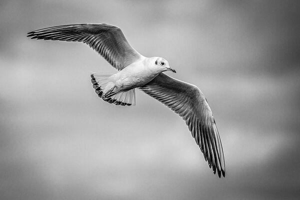 essex mono gull