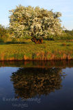 Whitethorn in bloom by the Canal. Ballinamore. Co. Leitrim