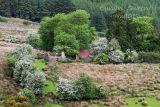 Cottage ruin and Whitethorn. Co. Sligo