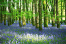 Bluebell  Woods. Dereen. Co. Roscommon