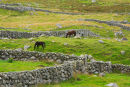 Horses  grazing  in  stone walled fields. Co. Donegal