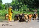 The  goat  herder .  Rajistan. India