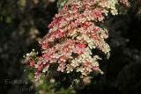 Whitethorn in Bloom. Co. Sligo