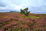 Mountain Heather. Co. Cavan. Ireland