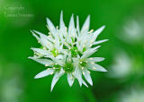 Ramsons ( Wild Garlic)