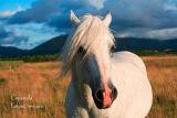 White  Stallion. Sligo