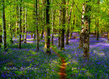 Bluebell Woods. Co. Roscommon