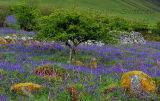 Bluebells and Whitethorn on the slopes of Ben Bulben. Co. Sligo