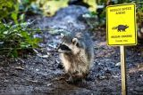 Raccoon Crossing