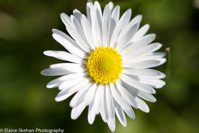 Macro shot of a Daisy
