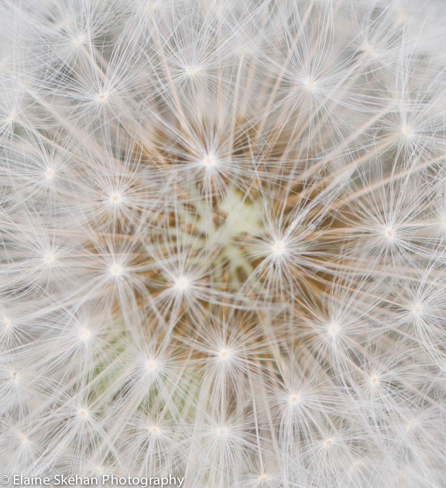 Dandelion Lace