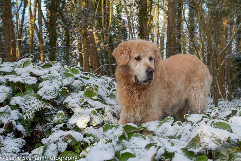 Silver in Ardgillan in the snow