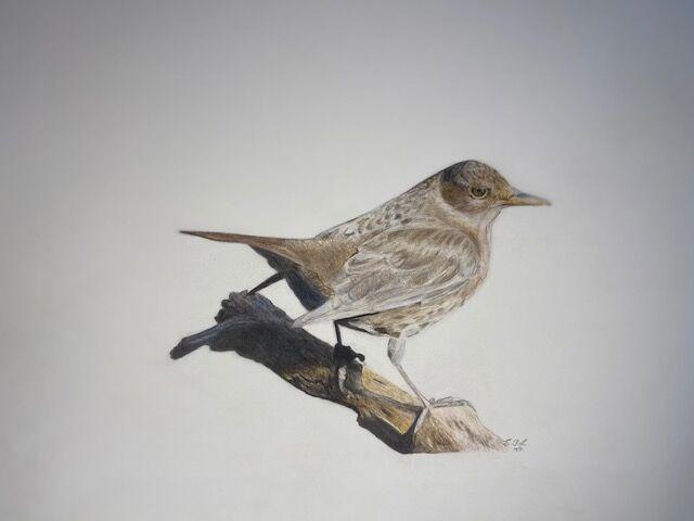 Hen Blackbird