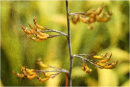 Rosemoor Plant - Di Wilkins ARPS