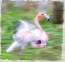 Flighty Flamingo - Alan Bastin LRPS