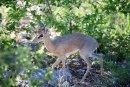 Antelope 7