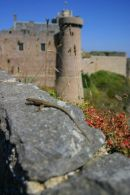 A small lizard and fort La Latte in the background.