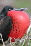 Great Frigate Bird in profile.