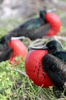 Three Great Frigate Bird in a row.