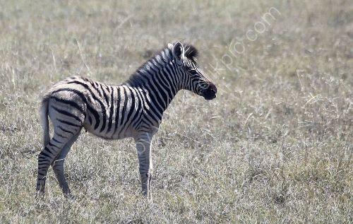 Zebras 4