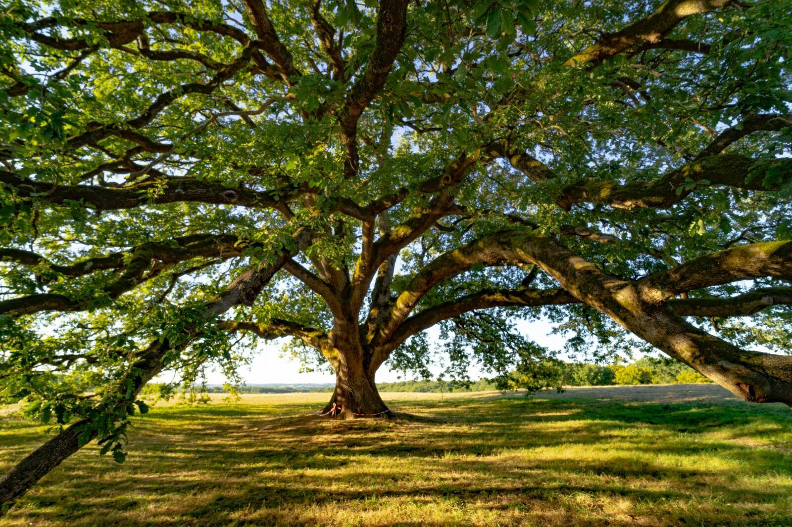 the tombeboeuf oak