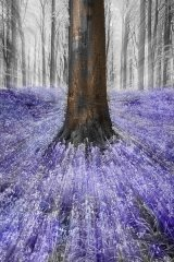 A tree in the bluebell woods.