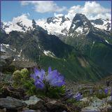 Alpine Campanula