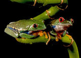 American Tree Frogs