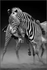 Amorous Zebras