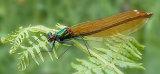 Banded Demoiselle Female (Calopteryx splendens)