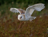 Barn owl across