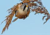Bearded Reedling On Reed