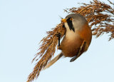 Bearded Tit Feasting On Reed Seed