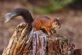 Brownsea Squirrel