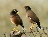 Common Mynah Birds