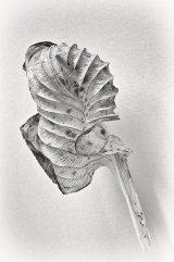Dead hosta leaf