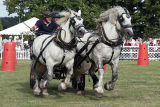 Driving Percherons at Somerley