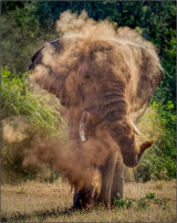 Elephant Dusting Mike Whatmore