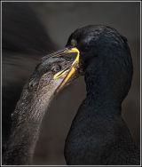 European Shag (Phalacrocorax Aristotelis) Feeding Juvenile