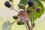 Harvest Mouse in Blackberries