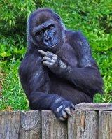 Gorilla Sending Message to Donald Trump