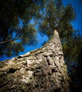 Grand Pine